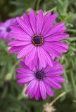在绿色的二朵美丽的明亮的紫色雏菊花 免版税库存照片