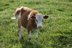在绿色的小逗人喜爱的母牛 免版税库存图片