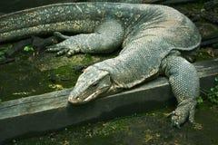 在绿色的巨型蜥蜴 库存图片