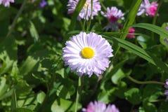 在绿色的春黄菊生叶背景 库存照片