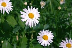 在绿色的春黄菊生叶背景 免版税库存照片