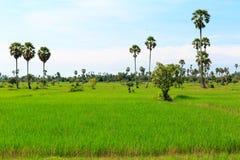 在绿色的稻田与棕榈树和多云天空 库存图片