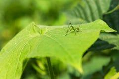 在绿色的绿色:一只孤零零蚂蚱 免版税库存照片