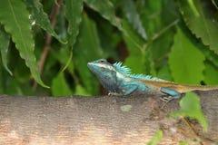 在绿色的缅甸变色蜥蜴在树分支  免版税库存照片