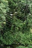 在绿色的蜘蛛网 免版税库存照片