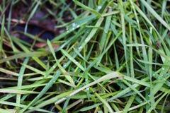 在绿色的露水草在2月 在冬天中间绿化与露水的草 免版税库存照片