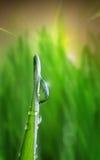 在绿色的Waterdrop在草叶 图库摄影