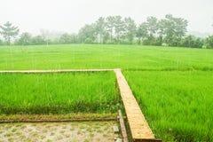 在绿色稻田的竹走道与雨 图库摄影