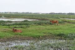 在绿色米的两头棕色母牛在会安市调遣在越南,亚洲 图库摄影