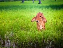 在绿色米领域的一头逗人喜爱的小牛早晨 免版税图库摄影