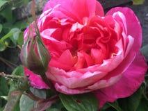 在绿色美丽的叶子的桃红色花 免版税库存照片