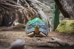 在绿色聚光灯的放热的草龟在水族馆在柏林德国 免版税库存图片