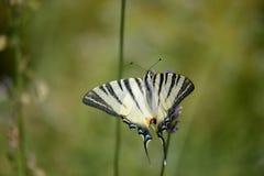 在绿色背景前面的蝴蝶 免版税库存照片