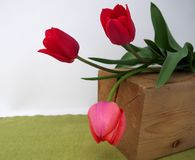 在绿色背景的三红色郁金香 库存图片