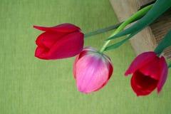在绿色背景的三红色郁金香 免版税图库摄影