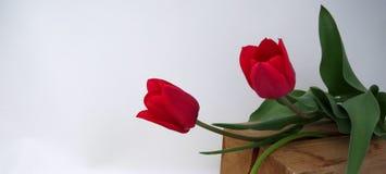 在绿色背景的两红色郁金香 库存照片