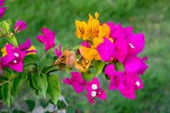 在绿色背景的九重葛 桃红色花 图库摄影
