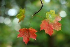 在绿色背景的五颜六色的秋叶 免版税图库摄影