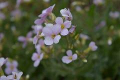 在绿色背景的小淡紫色花 库存图片