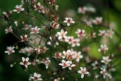 在绿色背景的小的白花 库存照片