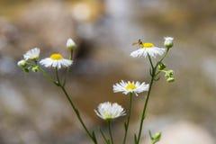 在绿色背景的很多雏菊 晴朗的雏菊 小的雏菊 春黄菊领域 库存图片