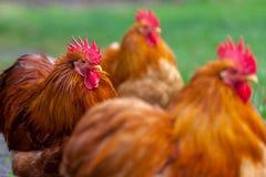 在绿色背景的德国公鸡画象 库存照片
