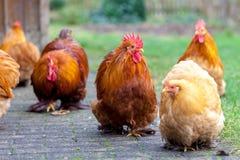 在绿色背景的德国公鸡画象 免版税库存图片