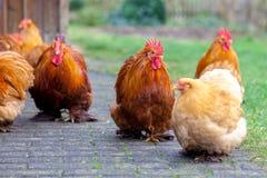 在绿色背景的德国公鸡画象 免版税库存照片