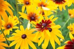 在绿色背景的明亮的黄色花,夏天绽放在庭院里 免版税库存图片