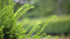 在绿色背景的杉木绿色分支 股票录像