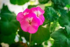 在绿色背景的柔和的紫色大竺葵花 开花的室内植物 免版税库存图片