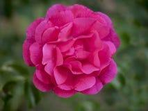 在绿色背景的桃红色玫瑰 图库摄影