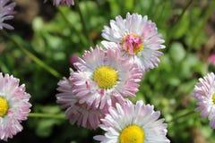 在绿色背景的桃红色雏菊在庭院里 库存照片