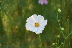 在绿色背景的白花 库存图片