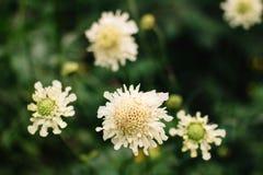 在绿色背景的百日菊属典雅的米黄花 图库摄影