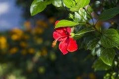 在绿色背景的红色木槿花 在热带庭院里 库存照片