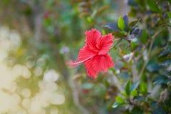在绿色背景的红色木槿花 Karkade在热带庭院里 免版税库存照片