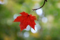 在绿色背景的红色枫叶 免版税库存图片