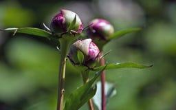在绿色背景的红色牡丹芽 免版税库存图片