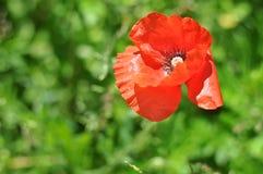 在绿色背景的红色鸦片 在他们的夏天村庄的装饰鸦片 美好的鸦片生气勃勃 鸦片,在的柔和的运动 免版税库存图片