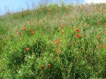 在绿色背景的红色鸦片 在鸦片草甸的天空蔚蓝 花明亮的夏天下午 免版税图库摄影