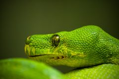 在绿色背景的绿色蟒蛇 库存图片