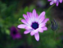 在绿色背景的美丽的小轻的淡紫色花Osteospermum离开本质上在早期的春天 非常浅dept 图库摄影