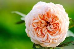 在绿色背景的花玫瑰色特写镜头 库存照片