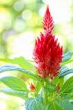 在绿色背景的蓬松红色鸡冠花花 免版税库存图片