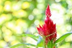 在绿色背景的蓬松红色鸡冠花花 免版税图库摄影