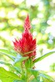 在绿色背景的蓬松红色鸡冠花花 库存图片