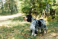 在绿色背景的西班牙猎狗 免版税库存图片