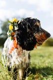 在绿色背景的西班牙猎狗 免版税图库摄影