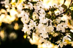 在绿色背景的进展的樱桃分支 晴朗的春天 图库摄影